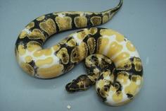 albino paradox royal python