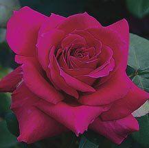 Big Purple Hybrid Tea Rose   Hybrid Tea Roses   Edmunds Roses