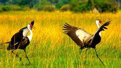 Okavango 15 Tage Wunderwelten-Reise. Klunkerkranichpaar (© Mathias Conze, Macopi / Chamäleon)