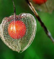Physalis alkekengi semilla 50 unids rojo linterna fruta fruta semillas Physalis peruviana. Semiilas de Frutas envío gratuito
