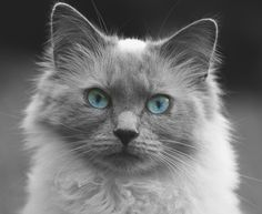 Kitten Images, View Image, Blue Eyes, Free Images, Photos, Pictures, Cats, Gatos, Cat