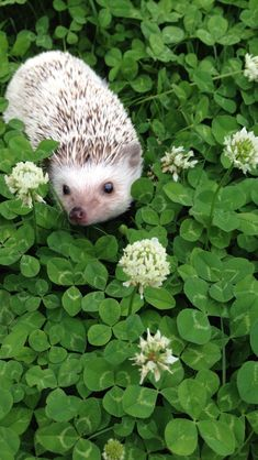Hedgehog in clover.