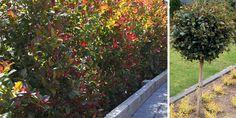 58 Best Hedges images   Hedges, Plants, Garden inspiration