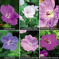 Hardy Geranium Collection - Cottage Garden Plants - Van Meuwen