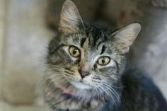 Brandy is an adoptable Domestic Medium Hair Cat in Frankfort, KY. Foster or adopt today - Transportation may be available - just ask. Contact: lonearrow@bellsouth.net Franklin County Humane Society 10...