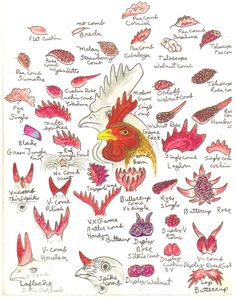 Chicken combs, illustration by Ross Simpson