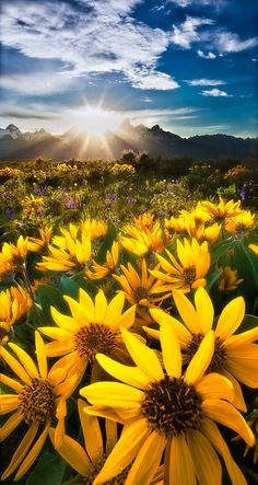 Sunrise over a field of yellow daisies