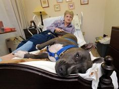 Joyce Baldwin, Plainfield Nursing and Rehabilitation Center resident, loves visits from Murphy, a pit bull. Murphy's owner believes pit bulls make good therapy dogs; i find something so heart warming about dogs and the true healing power that they have Pitbull Facts, Nanny Dog, Dog Shaming, Pit Bull Love, Therapy Dogs, Pit Bulls, Service Dogs, Pitbull Terrier, Beautiful Dogs