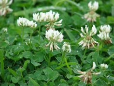 Still mowing that grass lawn? A clover lawn reduces water use, needs no fertilizer, cuts time spent on lawn care in half, and increases biodiversity. Clover Lawn, Leaf Clover, White Dutch Clover, Perennial Grasses, Perennial Plant, Weeds In Lawn, Erosion Control, Grass Seed, Gardens