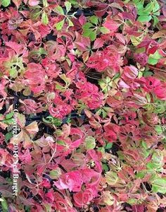 This week's plant highlight from New Moon Nursery: Parthenocissus quinquefolia Virginia creeper...Continue Reading