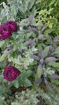 Salvia officinalis 'Purpurascens', Artemisia schmidtiana 'Nana' och sammetsröd ros från Gunnilla Lindahls trädgård i Nye utanför Jönköping. Bild Gunnilla.