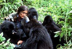 """""""Avec les gorilles cest un peu de nous qui disparaît"""""""