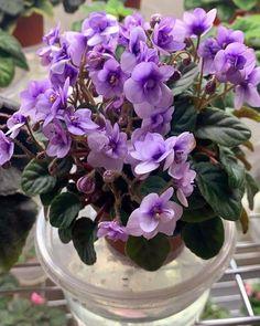 Leafy Plants, Indoor Plants, Easy House Plants, Saintpaulia, African Violet, Houseplants, Wordpress Theme, Perennials, Planting Flowers