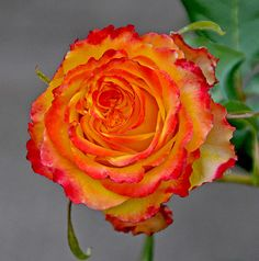 Tequila Sunrise:  Hybrid Tea Rose