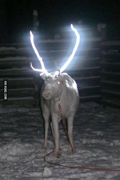 Reindeer antlers sprayed with a reflector to reduce traffic accidents in Lapland, Finland.