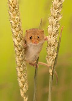 stilt walker - A little cute harvest mouse between two pieces of wheat