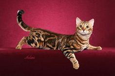 bengal cat | Bengal Cat Breeders | Pictures of Cats