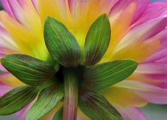 Back of a dahlia flower bloom macro photography