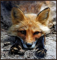 Pretty relaxed - photo by Robert Fry / A beautiful and cute fox to cheer anyone up today foxes, Fantastic Fox, Fabulous Fox, Animals And Pets, Baby Animals, Cute Animals, Wild Animals, Wildlife Photography, Animal Photography, Beautiful Creatures