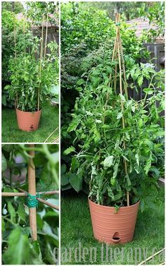 DIY Bamboo Tomato Cage via www.gardentherapy.ca