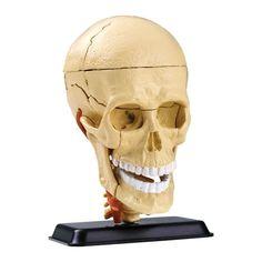 EDU SK010 Science Educational Toys 39pcs 9cm (3.5) Cranial Nerve Skull Anatomy Model for School & Educational Supplies
