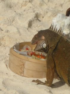 Aruba ... iguana lunch-time\ BIG ONES 2 meters on the middle of the road before you realy.