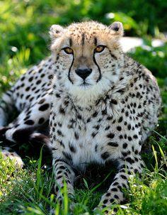 Beautiful Cheetah Resting in Shade. Nature Animals, Animals And Pets, Cute Animals, Mundo Animal, My Animal, Beautiful Cats, Animals Beautiful, Gato Grande, Leopards