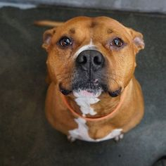 Linus, a 6-year-old Pit Bull Terrier mix, is available for adoption! A staff favorite, Linus is a big, happy boy with a huge, goofy personality. He's a gentle giant and lovable sweetheart with a silly stubborn streak and pouty face when he wants things his way. https://www.facebook.com/seattlehumane/photos/a.10152089036192002.1073741861.35081007001/10152838055637002/?type=1&theater