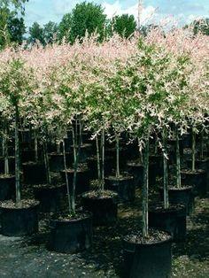 Dappled Japanese Willow Salix integra 'Flamingo' from Van Essen Nursery Garden Shrubs, Garden Trees, Trees To Plant, Garden Pots, Landscaping Trees, Front Yard Landscaping, Dappled Willow Tree, Garden Planning, Outdoor Gardens