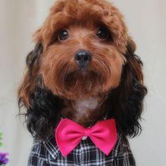 Little Pet Planet - Pet Dog Bow Tie, US$4.99 (http://www.littlepetplanet.com/accessories/ties/pet-dog-bow-tie/)