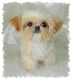 brown and white shih tzu female puppy Google Search Cuties