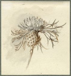 John Ruskin: White knapweed / color inspiration / black and white / monochromatic / texture / nature / art / Vintage Botanical Prints, Botanical Drawings, Botanical Art, Botanical Illustration, Illustration Art, Illustrations, Art Sketches, Art Drawings, Tatoo
