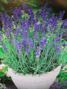 Lavender 'Hidcote Blue' Perennial Shrub - 6 plants in 8cm peat pots garden-ready in Garden & Patio, Plants, Seeds & Bulbs, Plants & Seedlings | eBay