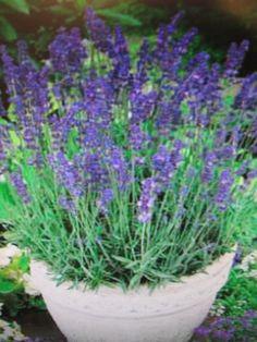 Lavender 'Hidcote Blue' Perennial Shrub - 6 plants in 8cm peat pots garden-ready in Garden & Patio, Plants, Seeds & Bulbs, Plants & Seedlings | eBay