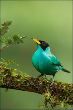 Green Honeycreeper (Chlorophanes spiza) perched on a branch, at Sarapiqui, Costa Rica. For more visit www.chrisjimenz.net