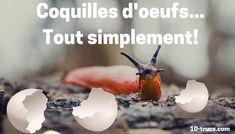 coquille oeuf, anti limace naturel