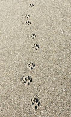 Coastal paw prints :)