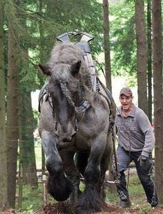 Image result for brabant horses