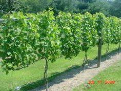 Building a Substantial Grape Support System