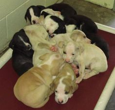 Help these puppies. this shelter has many wonderful volunteers. But rarely adopters from the area. Transportation can be possible.