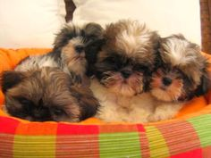 Shih Tzu puppies in a basket. Or I guess a puppy bouquet?