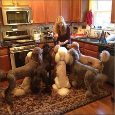 Attention please. it must be treat time how many Poodles did you count?