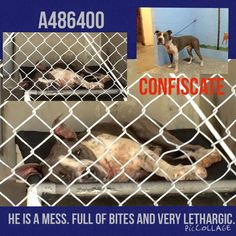 10/8/15-STILL THERE!! - SUPER URGENT - Pit a Boo September 23 · Edited · ROMEO - ID #A486400. Kennel 19. Listed INJURED. Must exit 9/30. I feel really bad for him... I can tell you he is very sore. Didn't want to leave his bed. Very lethargic. Link to the video: http://www.youtube.com/watch?v=-HH5XlYM5uA I am a male, black and white Pit Bull Terrier mix. I have been at the shelter since Sep 15, 2015. San Bernardino Shelter.Ca 909.384.1304