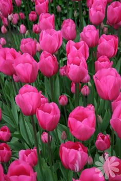 Tulipa 'Don Quichotte' - Triumph tulip - Late Spring - © plantdatabase- 50 bulbs from Tulip World