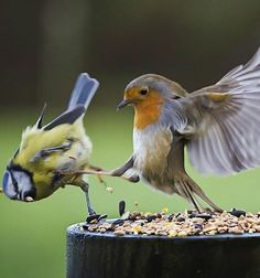 This is Sparta!!!!!! Food fight! (Parus caeruleus and Erithacus rubecula)