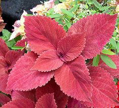 Solid-color, sun-tolerant coleus is an easy-to-grow annual foliage plant that provides bold color to container gardens or landscape beds where it will intertwine with flowering annuals and perennials to brighten shady nooks. It is available in a broad range of colors, which are usually most intense in bright light. It needs warm temperatures and moist soil to perform at its best.