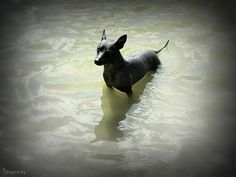 Mexican Hairless Dog photo Mexican Hairless Dog, Dog Photos, Dogs, Pet Dogs, Doggies