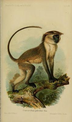 Über die von Hrn. Dr. G. A. Fischer auf einer im J. 1878 in Ostafrika, von Mombas bis in das Pokômo-Land und das südliche Galla-Land, unternommenen Reise eingesammelten Säugethiere - BioStor