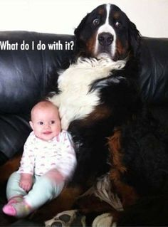 Wonderful Images bernese mountain dogs funny Tips : A Bernese Off-road Doggy is usually a favorite large dog breed. The idea is amongst the some varieties of which come from the Sennenhund-type most dog. Funny Animal Memes, Funny Animal Pictures, Cute Funny Animals, Funny Cute, Funny Photos, Cute Dogs, Baby Pictures, Animal Humor, Random Pictures