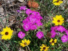 East Texas wildflowers